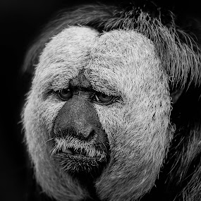 white faced saki by Andy Smith - Uncategorized All Uncategorized ( saki, black and white, primate, monkey, animal,  )