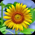 Sunflower Wallpaper HD APK