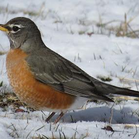 Spring Robin Red Breast by Judy Soper - Animals Birds ( aviary, breast, bird, robin, red, ohio, worms, spring )
