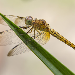 by Ridzwan Mohd Nor - Animals Insects & Spiders ( inects, nature, fauna, dragonfly )