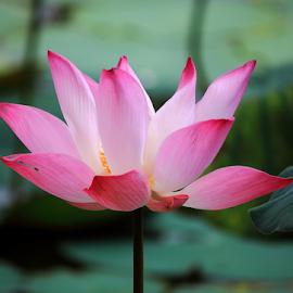 by Han Yi - Flowers Single Flower