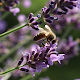Download bee wallpaper - lavender flower wallpaper For PC Windows and Mac