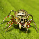 Cosmophasis Jumping Spider ♀