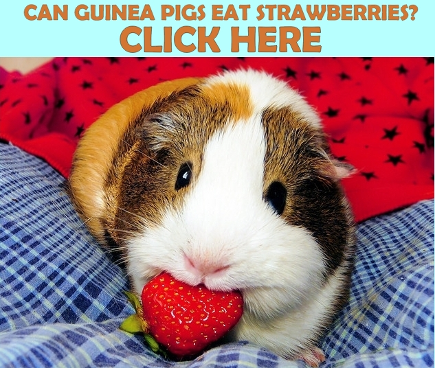 can guinea pigs eat strawberries small pet nutrition