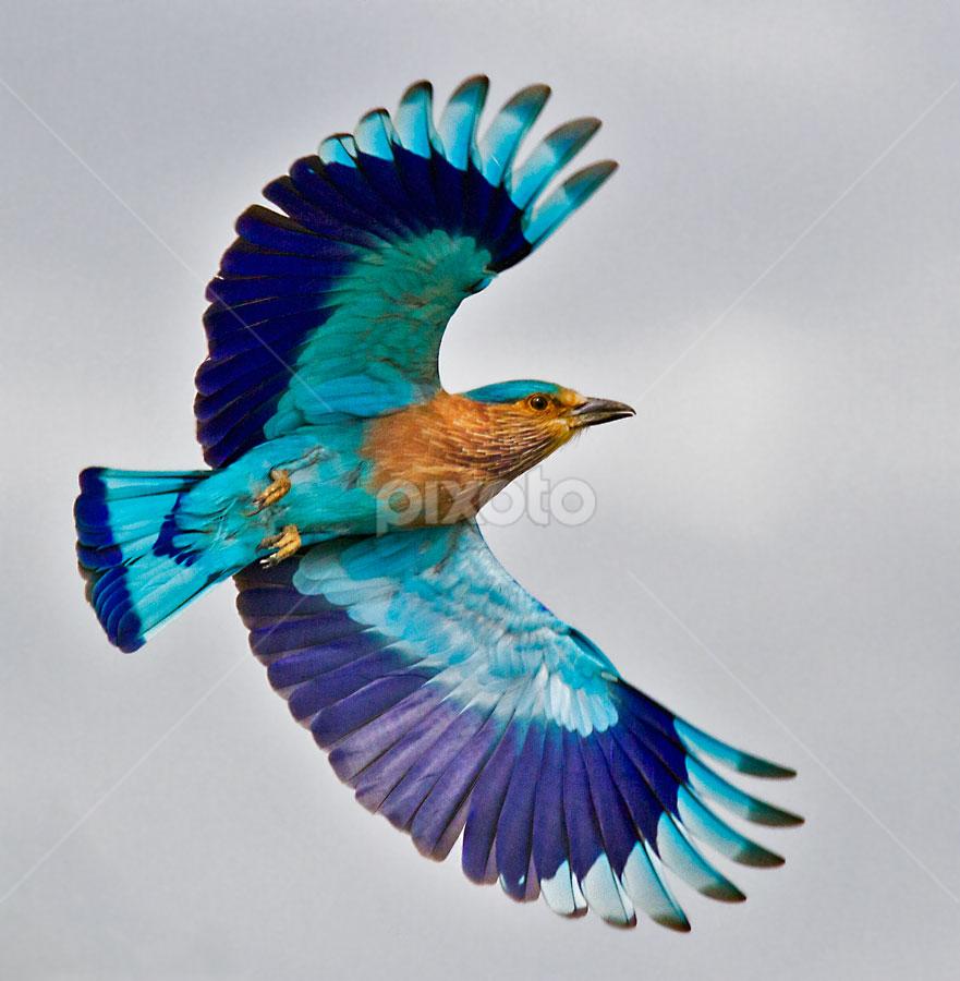 INDIAN ROLLER in flight by Mohan Munivenkatappa - Animals Birds