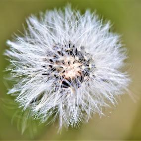 Little dandelion by Slaven Bandur - Flowers Flowers in the Wild ( spring, white, nature, sunny, meadow, dandelion )