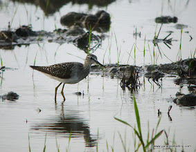 Photo: Wood Sandpiper, Kota Belud wetlands