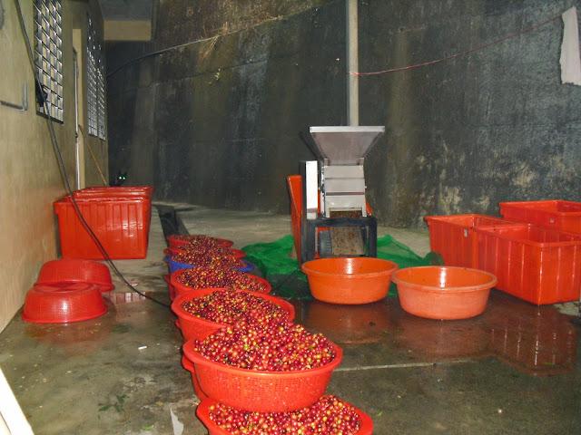 咖啡豆採收處理