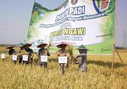 Panen raya padi di desa Watualang Ngawi