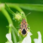 Graptostethus servus 黑帶紅腺長蝽