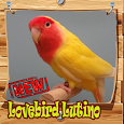 Lovebird lutino Istimewa Mp3