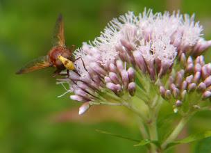 Photo: Hoornaarzweefvlieg (ook wel: stadsreus, Volucella zonaria), vrouw