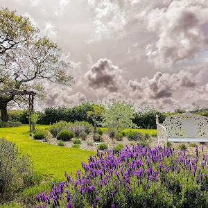 IsleOfWight Lavender_.jpg