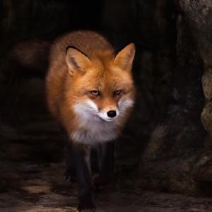 foxy 1.jpg
