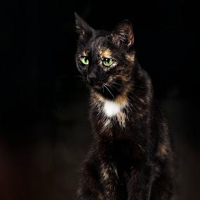 Posing Cat by Giannis Paraschou - Animals - Cats Portraits ( canon, cat posing, cat, modeling cat, cat eyes, animal photography, cat portrait, posing cat, jealous cat, elinchrom, flash photography,  )