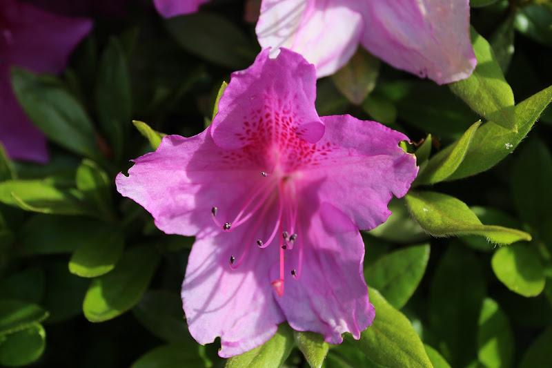 Azalea di giorgio43
