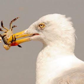 Time for Lunch by Andrea Everhard - Animals Birds ( bird, seagull, wildlife, crab )