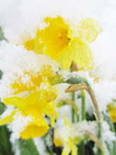 Photo: Snow on yellow daffodils at Cox Arboretum in Dayton, Ohio.
