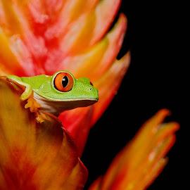 Red-Eyed Tree Frog on Brom by Jen St. Louis - Animals Amphibians ( frog, captive, amphibian, tree frog, agalychnis callidryas, red-eyed tree frog,  )