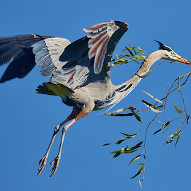00 Heron 99926~ by Raphael RaCcoon - Animals Birds