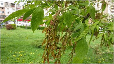 Photo: Artar American (Acer negundo), din Turda, Parcul Teilor - 2019.04.22