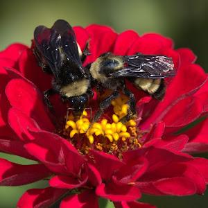 canon 8-8-17 flower bee 2.jpg