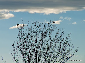 Photo: Grackles in twilight, 5.4.10