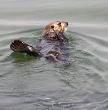 Photo: (Year 3) Day 20 - Otter Swimming #3