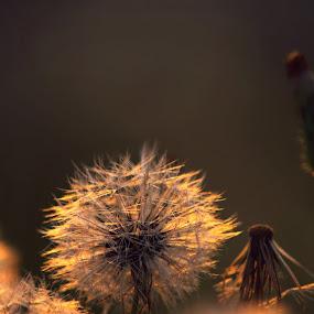 Twilight by Katie McKinney - Nature Up Close Other plants ( up close, macro, dandilions, nature, dandelion, lighting, sunset, sundown, plants, weeds, dusk,  )