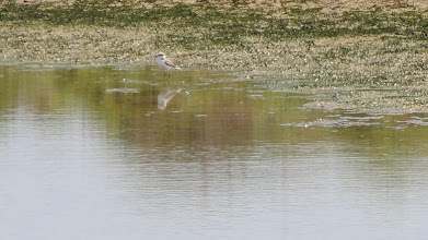 Photo: A Little Stint in a sand bar pool, Deltebre