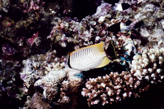 Photo: #016-Poisson papillon