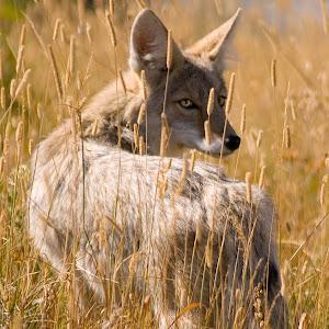 Coyote in Field.jpg