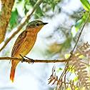 Caneleiro-preto (White-winged Becard)