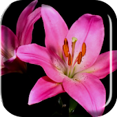 Blooming Flowers Live Wallpap