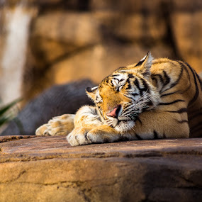 Mike VII by Tony Richard - Animals Lions, Tigers & Big Cats