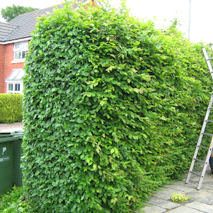Hedge neatly cut
