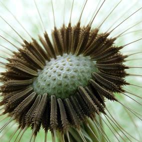 dandelion bud by Nick Parker - Flowers Flower Buds ( dandelion, bud, makro, flower, closeup,  )