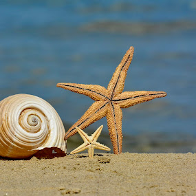 The Shell by Sorin Lazar Photography - Nature Up Close Other Natural Objects ( shell, concept, decorative, fauna, echinoderm, wildlife, murex, ocean, collection, beach, cone, exotic, sea stars, decor, macro, arthropod, riverside, nature, composition, closeup, spa, marine, element, conch, beautiful, spiral, mollusk, souvenirs, aquatic, background, clam, seashell, natural, oceanic, design )