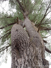 Photo: Old growth pine,