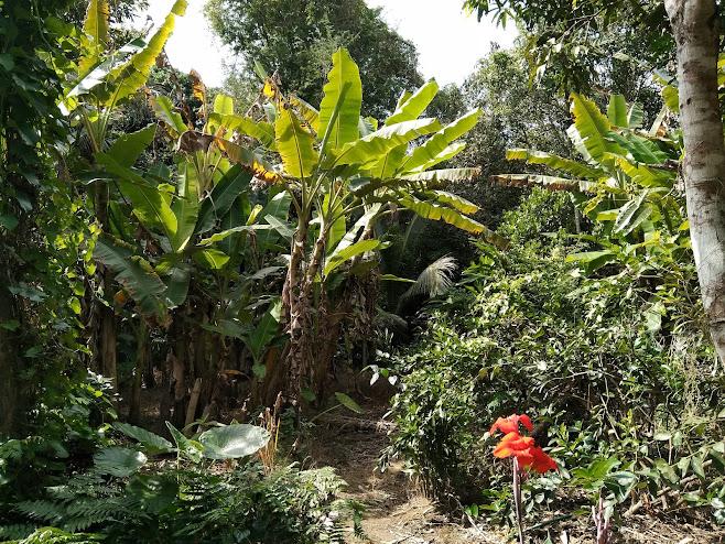 バナナの森