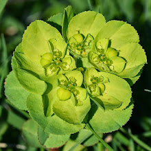 Photo: Euphorbia helioscopia,euforbia calenzula, sun spurge
