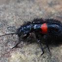 Páramo Pollen Beetle