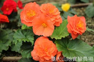 Photo: 拍攝地點: 梅峰-溫帶花卉區 拍攝植物: 球根秋海棠 拍攝日期:2012_05_26_FY