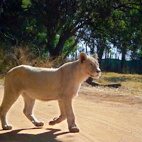 Lioness by Stephen McKibbin - Animals Other Mammals