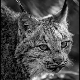 Bobcat by Dave Lipchen - Black & White Animals ( bobcat )