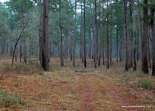 Photo: Pine forest managed as Red-cockaded Woodpecker habitat, Sam Houston National Forest, East Texas