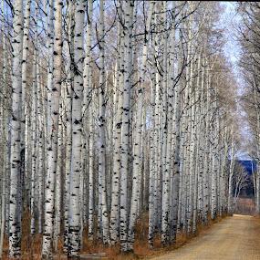 by Ron Harper - Landscapes Forests ( old adobie town, aspen alley )