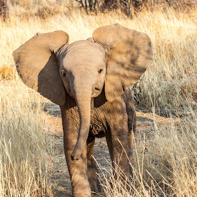 Baby Elephant by Ada Louw - Animals Other (  )