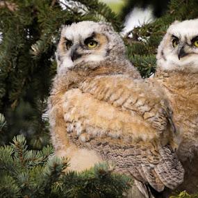 by Chris Greenwood - Animals Birds ( bird, owlet, owl, great horned, baby )