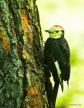 Photo: Fledgling male White-headed Woodpecker, Best Western Ponderosa Lodge, Sisters, OR